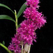 Dendrobium detiolatum