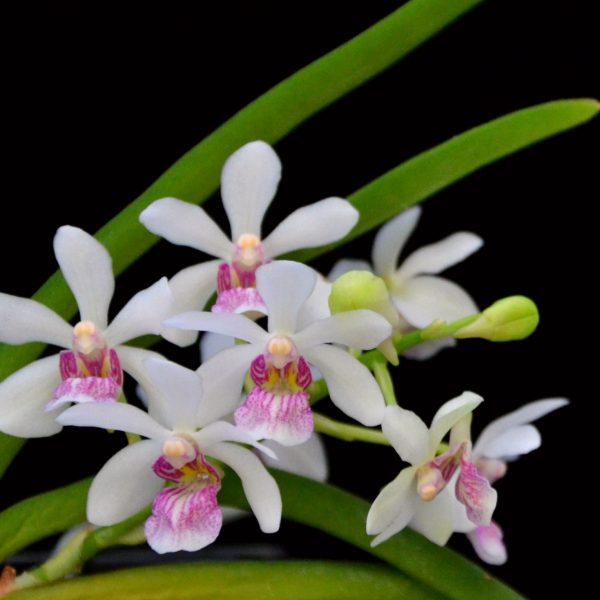 Holcoglossum flavescens x Rhynchostylis gigantea