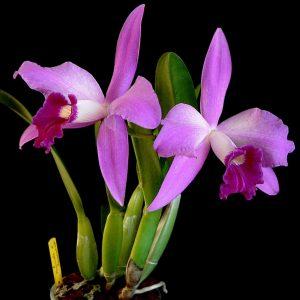 Laelia purpurata x sincorona