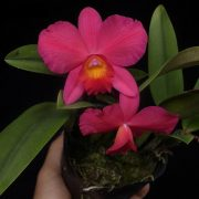 LC. Little Fireball (Aloha case x sophronitis coccinea)