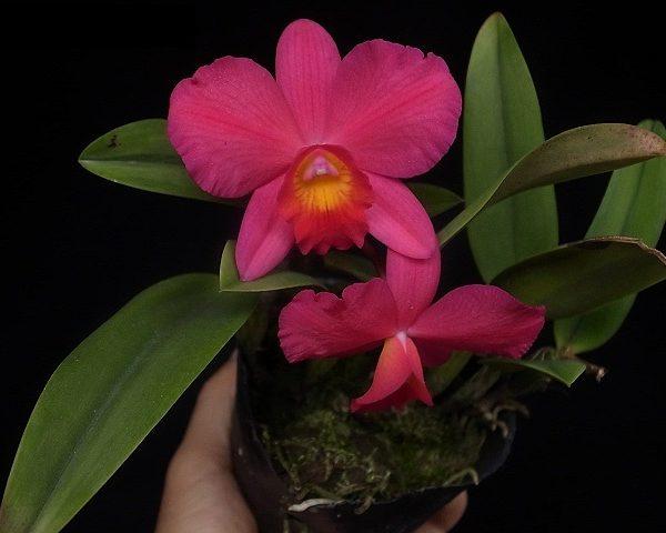 LC. Little Fireball (Aloha case x sophronitis coccinea)
