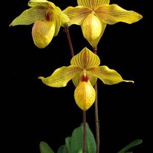 Paphiopedilum Dolgolldii (armeniacum x rothschildianum)