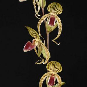 Paphiopedilum gigantifolium x rothchildianum