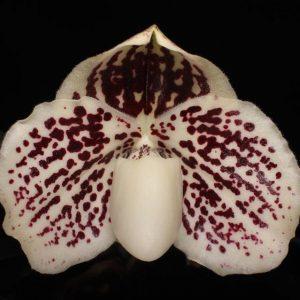 Paphiopedilum leucochilum x self