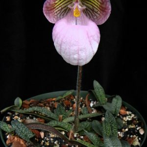 Paphiopedilum micranthum x self