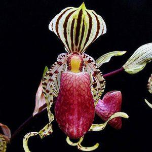 Paphiopedilum supardii x self