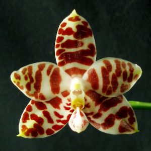 Phalaenopsis amboinensis var. common