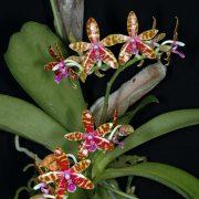 Phalaenopsis bastianii