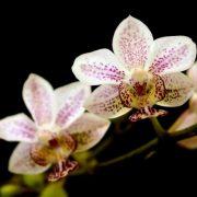 Phalaenopsis stuartiana x Kingidium minus