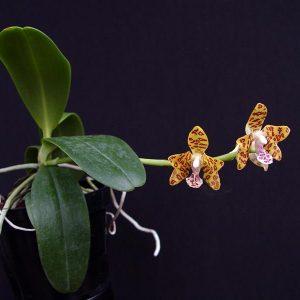 Sedirea japonica x Vandopsis parishii