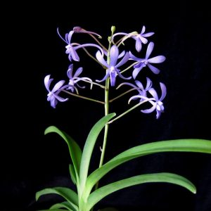 "Vandachostylis Rainbow Star ""Blue"""
