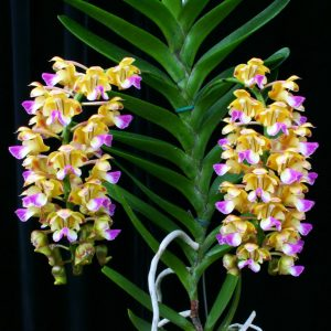 Aerides houlletiana 1