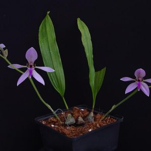 Ancistrochilus rothschildianus