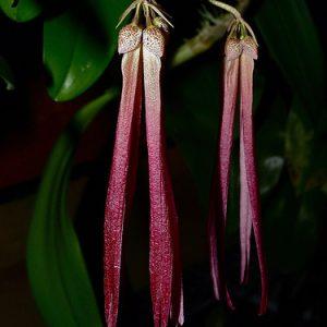 Bulbophyllum plamutum