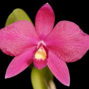 Cattleya Rubin x S. wittigiana