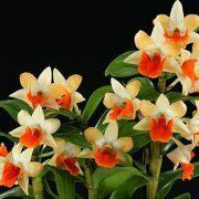 Dendrobium Hsinying Frostymaree