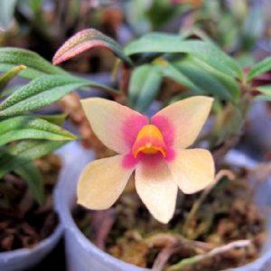 Dendrobium Nagomi (D. cuthbertsonii x bracteosum)