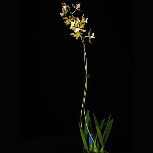 Encyclia plicata var. alba