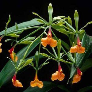 Epidendrum pseudoepidendrum