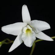 Laelia-rubescens-alba-2