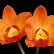 Laeliocatanthe Orange Fantasy