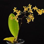 Oncidium divaricatum