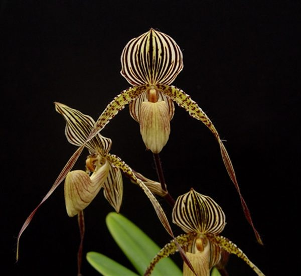 Paphiopedilum Saint Swithin - Big