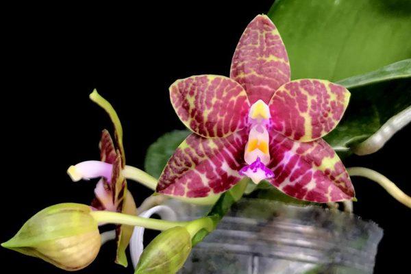 Phalaenopsis Brother Ambo Passion x Phal. Jessie Lee
