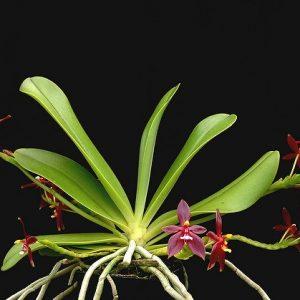 """Phalaenopsis cornu-cervi """"red"""" var. chattaladae 4N"""
