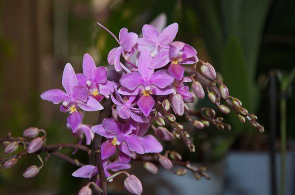 """Phalaenopsis equestris """"Graz"""""""
