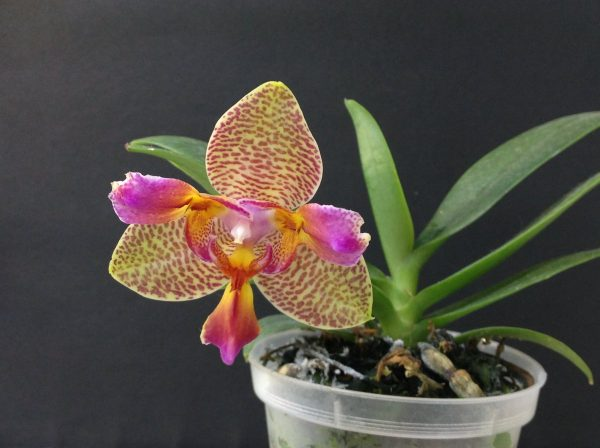 Phalaenopsis Joy Fairy Tale (Phal. Ho's Princess Arai × Phal. Coral Isles)