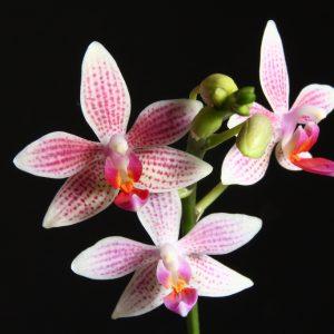 Phalaenopsis Little Sister (Phal. maculata x Phal. equestris)
