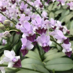 Phalaenopsis Memoria Val Rettig (Phal. Anna-Larati Soekardi × Phal. pulcherrima)