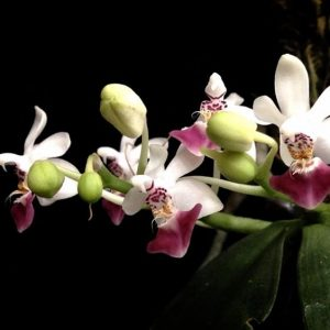 Phalaenopsis Sacha (Phal. parishii x Phal. malipoensis)