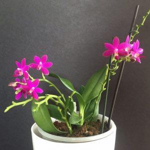 Phalaenopsis C.T.L. Vio Sapphire (Phal. Tzu Chiang Sapphire × Phal. violacea 'indigo')