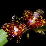 Phalaenopsis YangYang Gigan Cherry (Phal. Jong's Gigan Cherry × Phal. gigantea)