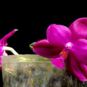 Phalaenopsis Yaphon Super Jaguar (Phal. Yaphon Luedde-Star x Phal. Shingher Pure Love)