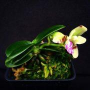 "Sedirea japonica ""Minmaru"" (Mini Type)"