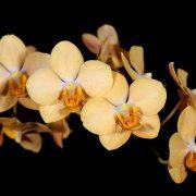 Vandaenopsis Jiaho's Orange