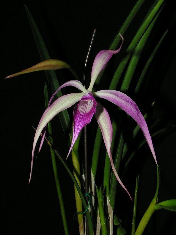 BL B. cucullata x L. purpurata