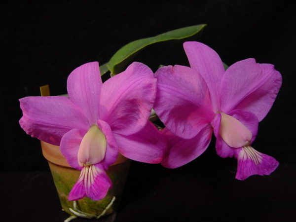 Cattleya Brazilian Jewel 'Cute' (C. walkeriana x C. nobilior)