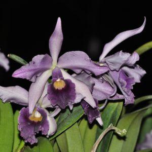 Cattleya Canhamiana 'Azure Sky' (C. mossiae x C. purpurata)