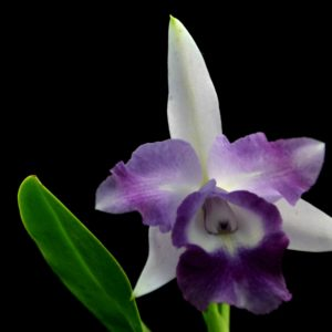 Cattleya Cariad's Mini Queene 'Angel Kiss'