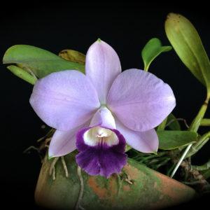 Cattleya Mini Purple var. coerulea (C. pumila x C. walkeriana)