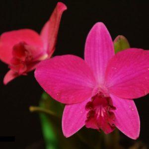 Cattleya Sheng Yi Cranberry (C.Chien Ya Ruby x C.Sheng Yi Star)
