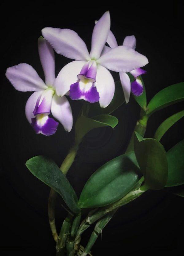 Cattleya violacea f. coerulea