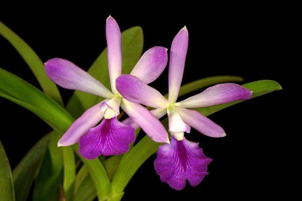 Catyclia Atrowalker (C. walkeriana x Enc. cordigera)