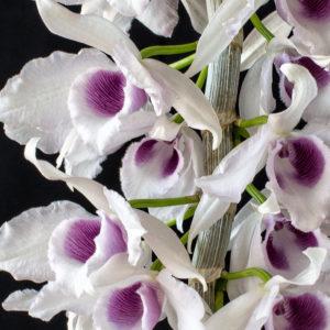 Dendrobium anosmum f. semialba