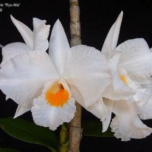 Dendrobium Formidable 'Ryu Ma' (Den. formosum x Den. infundibulum)