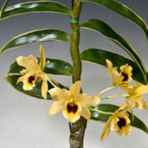 Dendrobium Golden Blossom Marginata